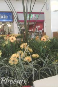 Gerbera amarela Downtown Chácara Phoenix paisagismo Milcir Filho