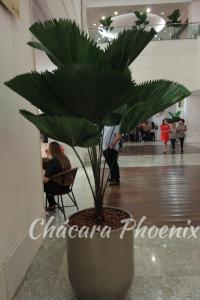 Palmeira Licuala Orquidea Shopping Tijuca orquideas Chácara Phoenix paisagismo Milcir Filho 2