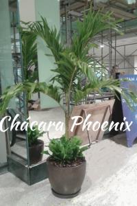 Palmeira veitia com asplenio biobric vaso l oil Chácara Phoenix Milcir Filho